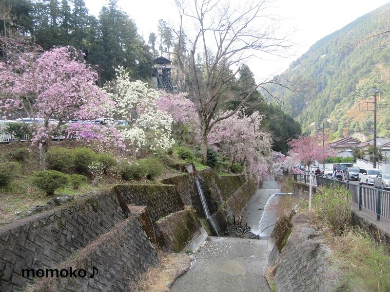 久遠寺の枝垂れ桜 川沿い