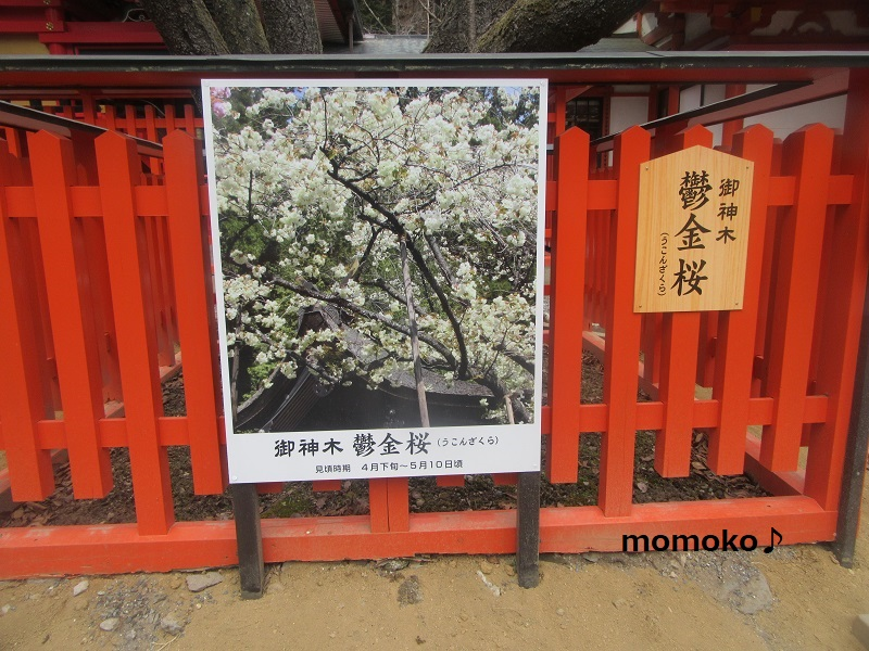 ウコンの桜の看板