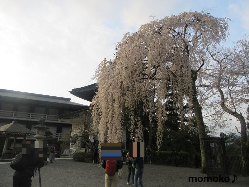 久遠寺の枝垂れ桜
