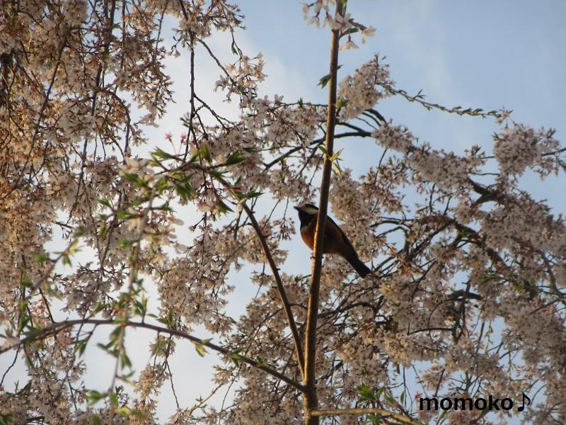 久遠寺の枝垂れ桜 何の鳥?