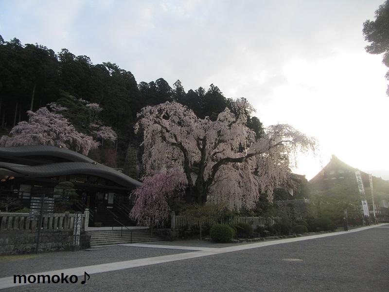 久遠寺の枝垂れ桜。もうすでに人が