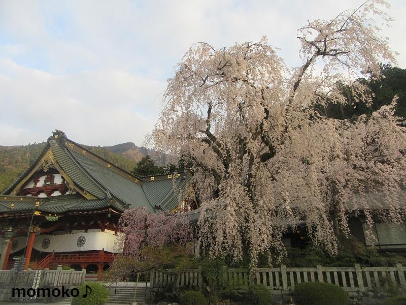 久遠寺 しだれ桜