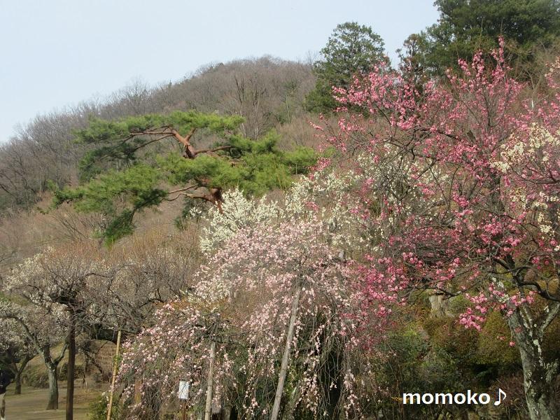 不老園の梅の花