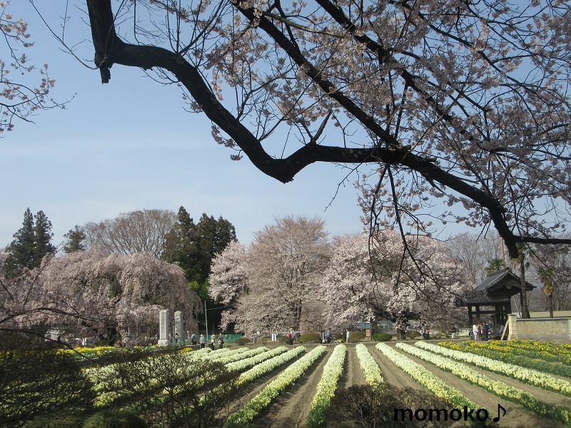 神代桜祭りの様子