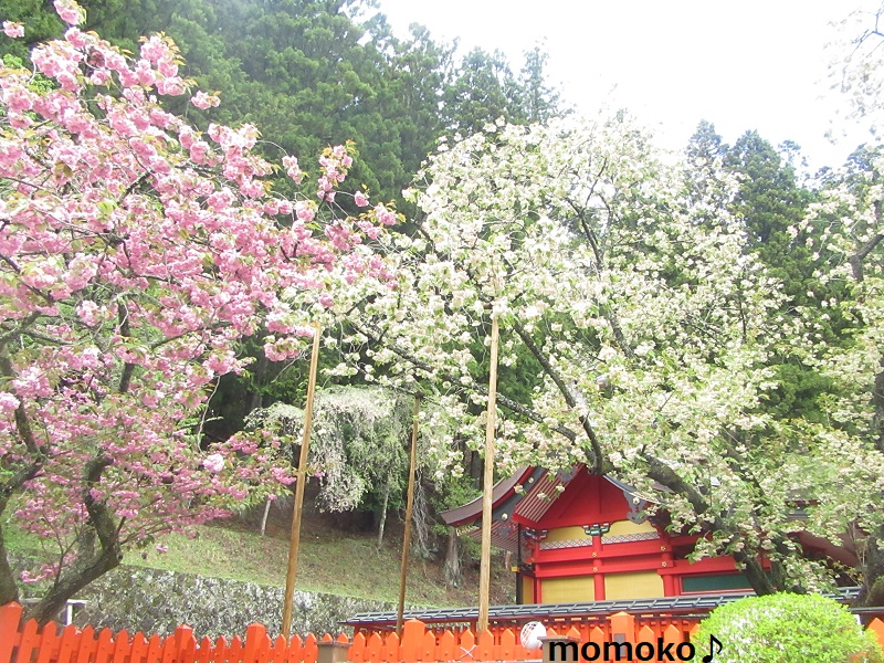 ウコン桜と八重桜