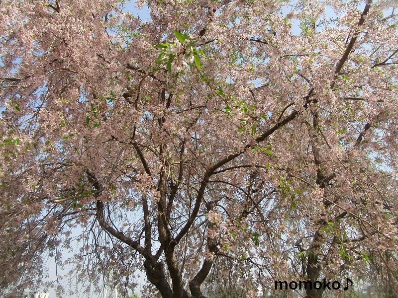 権現堂の桜まつり2018