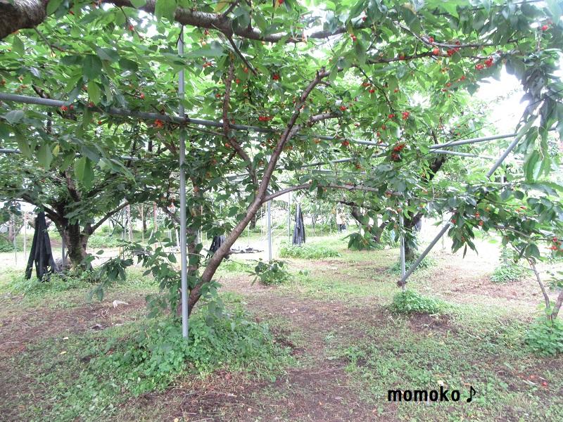 小野洋らん果樹園 さくらんぼ狩り4