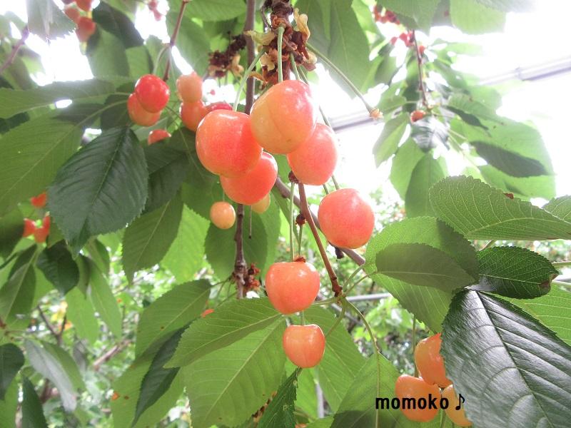 小野洋らん果樹園 さくらんぼ狩り6
