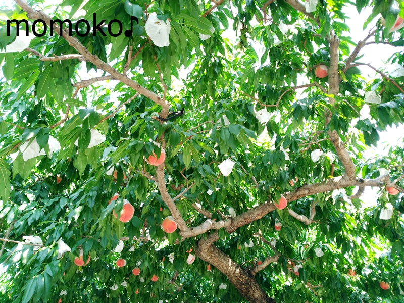 里見農園で桃狩り