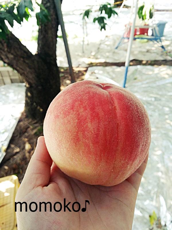 里見農園の桃狩り4