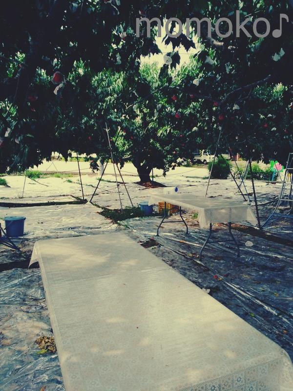 里見農園の桃狩り2