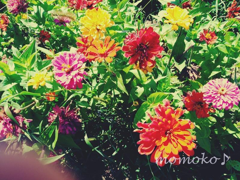 花の都公園の百日草6